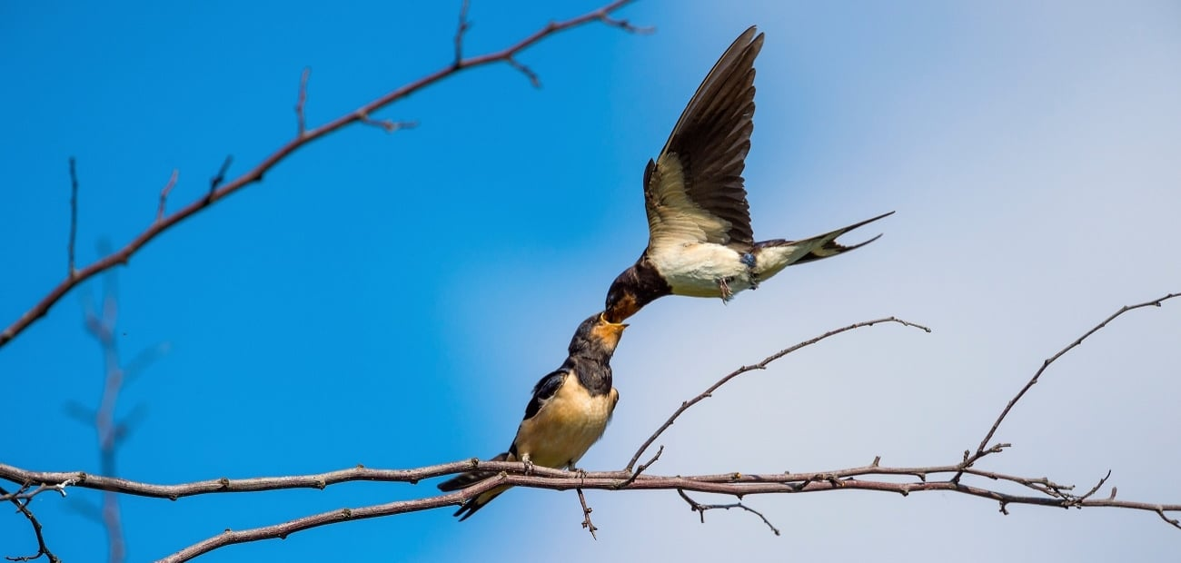 008760-Swallow-Christopher-Chuter-edited-2_1300x620_acf_cropped