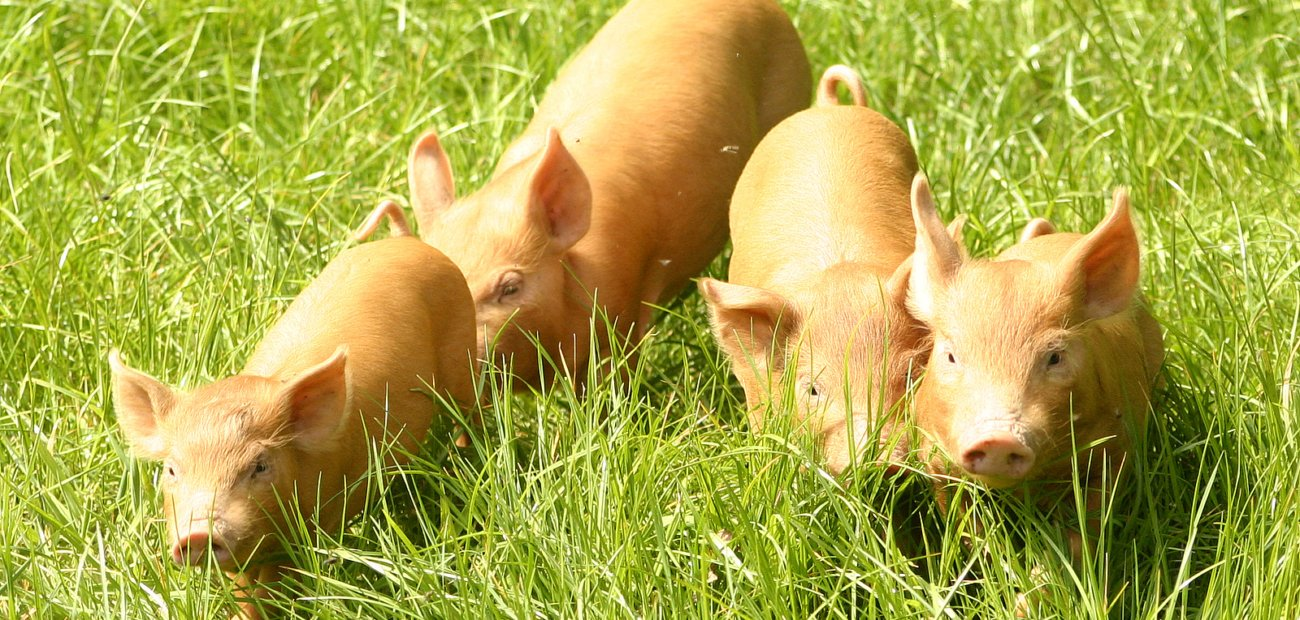 20130129-Tamworth-piglets-by-Paul-Thornton_1300x620_acf_cropped