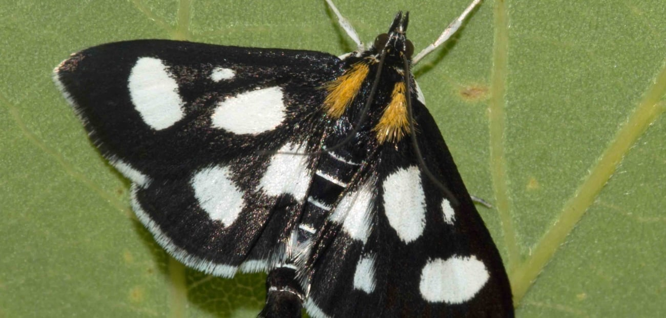 Moth-Anania-funebris-1381-Gait-Barrows-NNR-23-6-15-low-res_1300x620_acf_cropped
