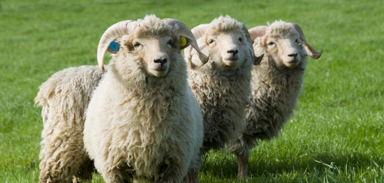 Portland-sheep-credit-Jon-Durrant_1300x620_acf_cropped
