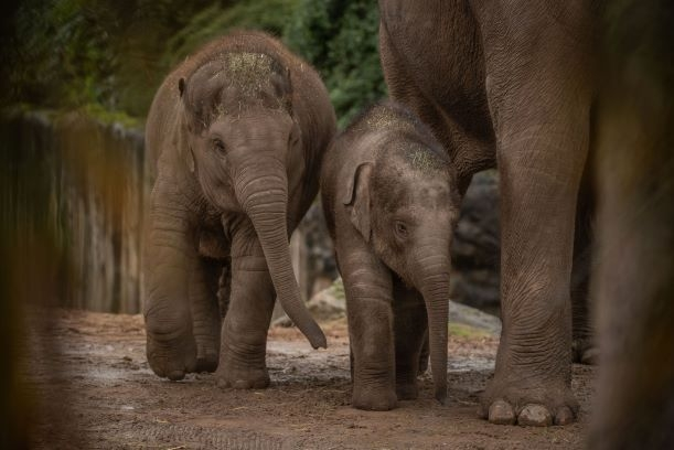 CHESTER-ZOO-Baby-Elephants-2-2_0x0_acf_cropped